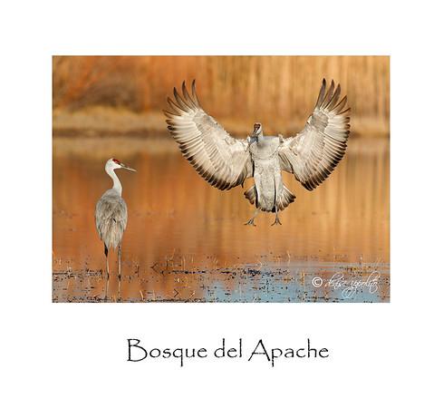 Bosque del Apache